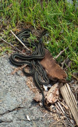 A knot of garter snakes basking.