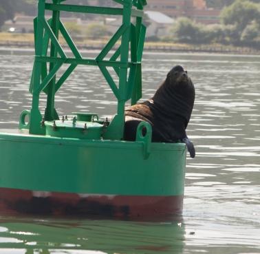 sea lion-4924